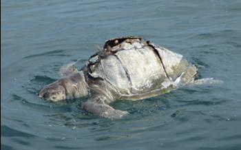 El misterio de las tortugas muertas